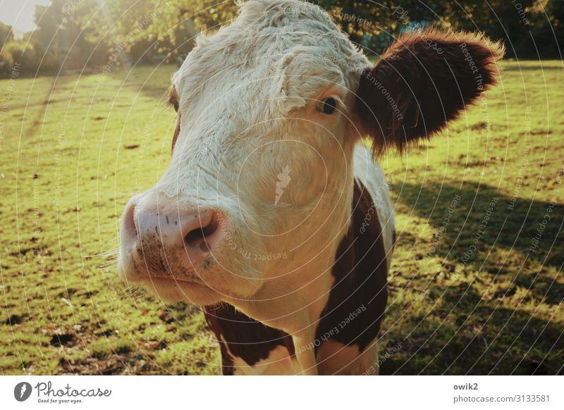Urvieh Tier Herbst Schönes Wetter Wiese Weide Kuh 1 beobachten Denken Blick groß nah Neugier Akzeptanz Vertrauen friedlich achtsam Vorsicht Gelassenheit