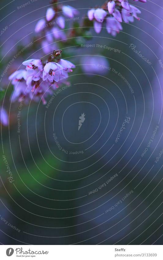 blooming lovely Natur Sommer Pflanze schön grün Blume Blüte natürlich Textfreiraum Stimmung ästhetisch Idylle Romantik Blühend Postkarte violett