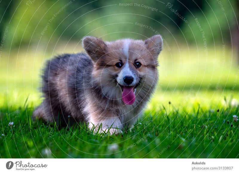 Roter Hund Walisisch Corgi Pembroke Welpe läuft im grünen Gras. Freude Glück Spielen Sommer Freundschaft Natur Tier Park Wiese Haustier genießen Lächeln