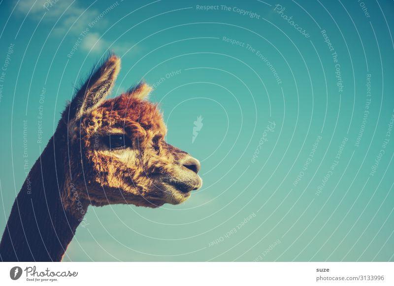 Lama mit gutem Karma Tier Außenaufnahme Farbfoto Blick Alpaka Tierporträt Menschenleer niedlich Neugier Fell Tiergesicht braun Nutztier beobachten Haustier