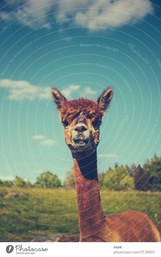 Bitte recht freundlich Friseur Tier Himmel Wiese Fell Haustier Nutztier 1 schön kuschlig lustig Neugier niedlich wild blau braun Wachsamkeit Lama Karma tierisch