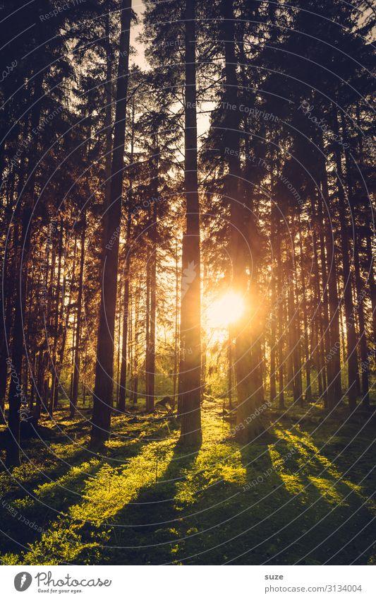 Abendsonne im Wald von Schweden Urlaub Wandern Freiheit Umwelt Natur grün Nadelwald Kiefern Klima Gesundheit Märchenwald geheimnisvoll Landschaft Pflanzen