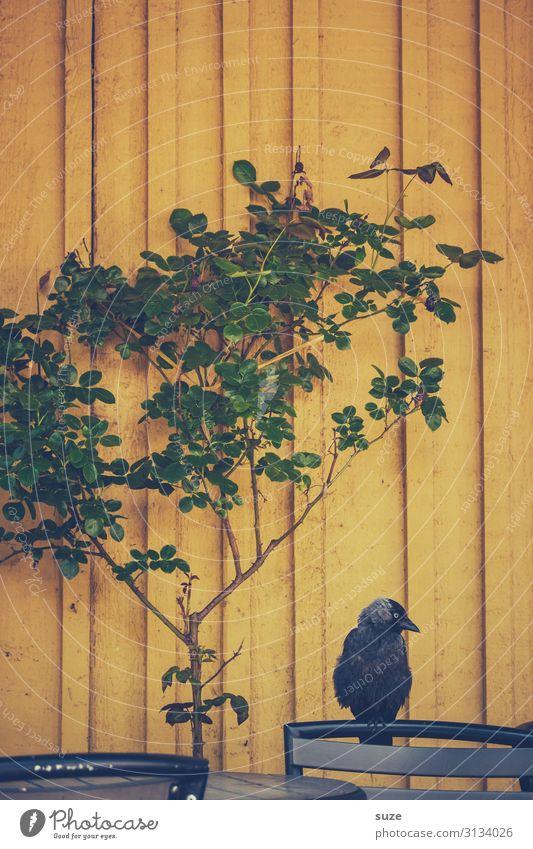 TT | Firlefanz an der Wand Pflanze grün Tier gelb Vogel sitzen warten Stuhl tierisch Langeweile Holzwand Krähe Stuhllehne Dohle