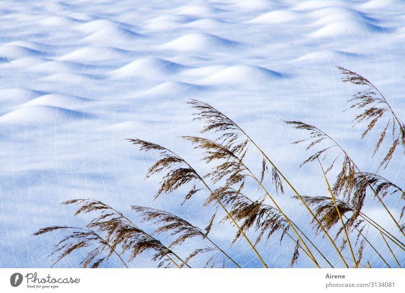 Maulwürfe im Winterschlaf blau schön weiß Landschaft Ferne kalt Schnee Wiese braun hell Schönes Wetter Haufen Riedgras Reinheit Schneedecke