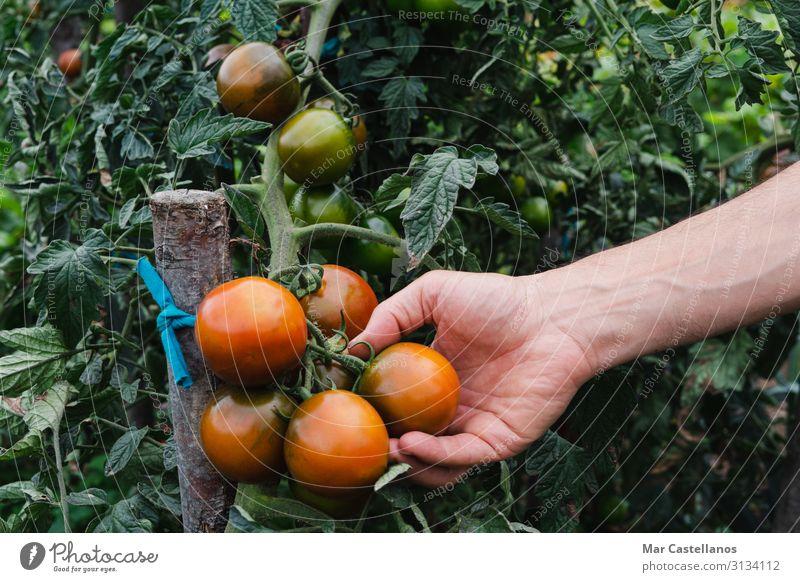 Man's Hand pflückt reife Kumato-Tomaten im Obstgarten. Gemüse Vegetarische Ernährung Lifestyle Wellness Sommer Gartenarbeit Mann Erwachsene Menschengruppe Natur