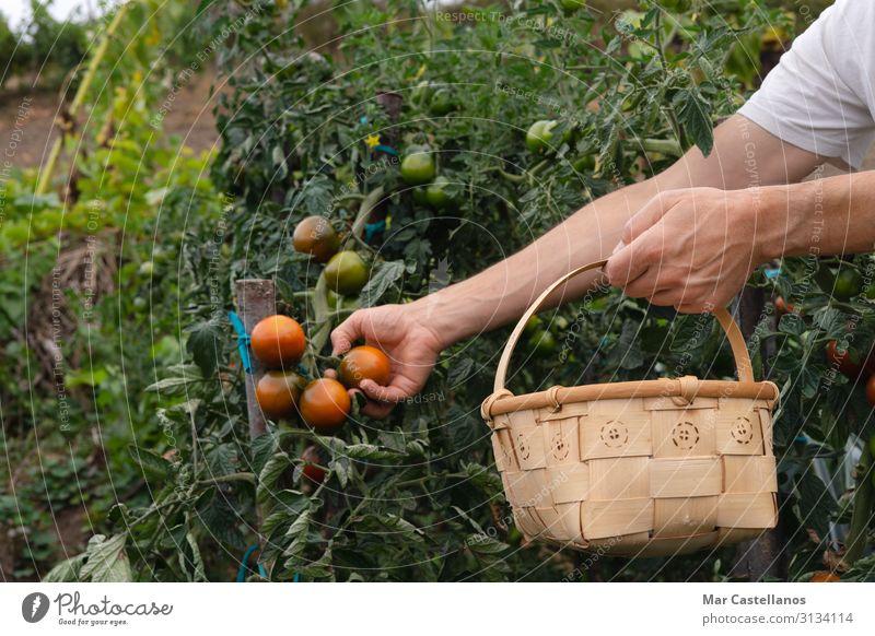 Tomaten von Hand im Obstgarten in einem Holzkorb pflücken. Gemüse Ernährung Wellness Sommer Gartenarbeit Landwirtschaft Forstwirtschaft maskulin Mann Erwachsene