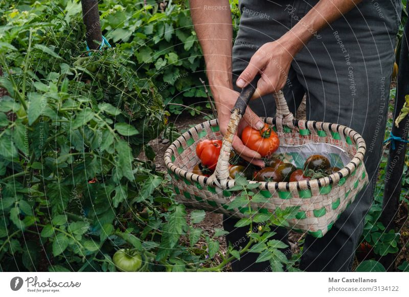 Pflücken von reifen Tomaten von Hand im Korb. Gemüse Vegetarische Ernährung Lifestyle Gesundheit Wellness Sommer Gartenarbeit Landwirtschaft Forstwirtschaft