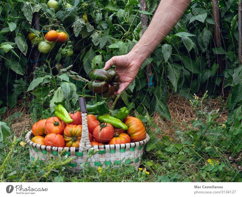 Paprika im Obstgarten im Korb von Hand sammeln. Lebensmittel Gemüse Ernährung Vegetarische Ernährung Sommer Gartenarbeit Landwirtschaft Forstwirtschaft