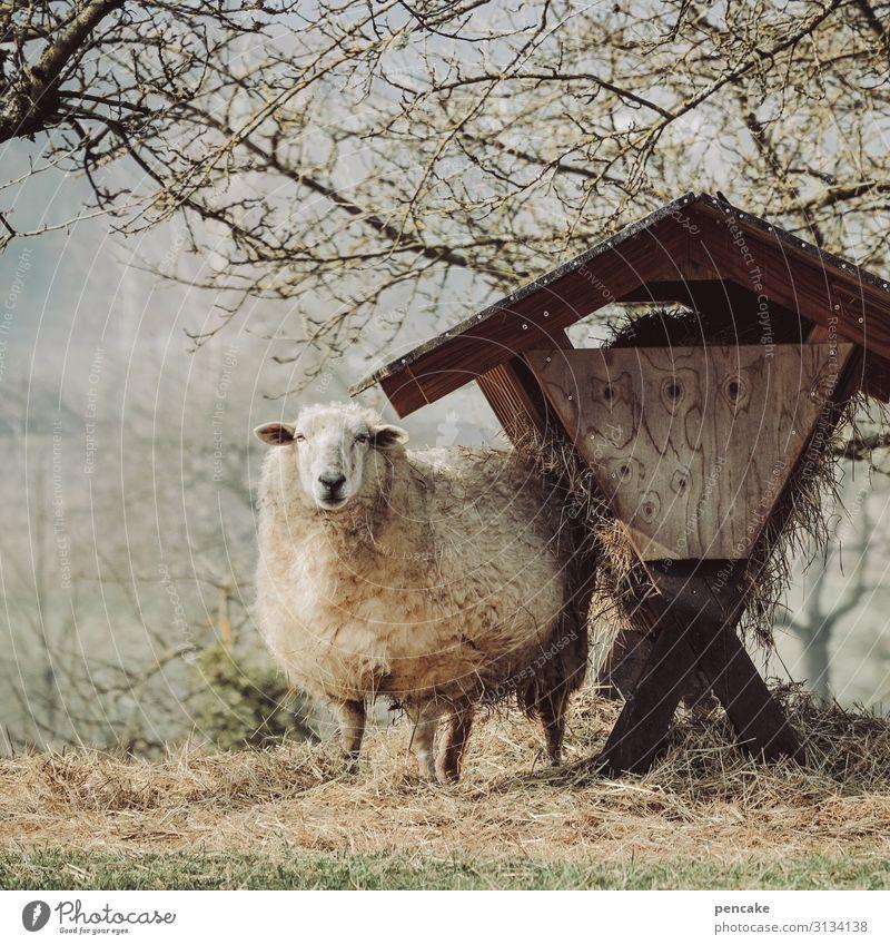 vorsicht, scha(r)f! Natur Landschaft Frühling Schönes Wetter Baum Wiese Feld Tier Nutztier Fell 1 beobachten füttern Leben Schaf Weihnachtskrippe futterkrippe