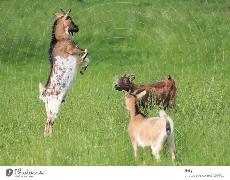 Ziegenbock posiert vor zwei staunenden Ziegen auf einer Wiese Umwelt Natur Pflanze Tier Sommer Schönes Wetter Gras Haustier Nutztier 3 Brunft beobachten Blick