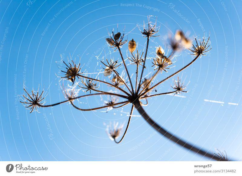 Tautropfen an einem Blütenstengel Natur Pflanze Luft Wassertropfen Himmel Wolkenloser Himmel Herbst Winter Schönes Wetter Eis Frost Wiese frisch blau braun
