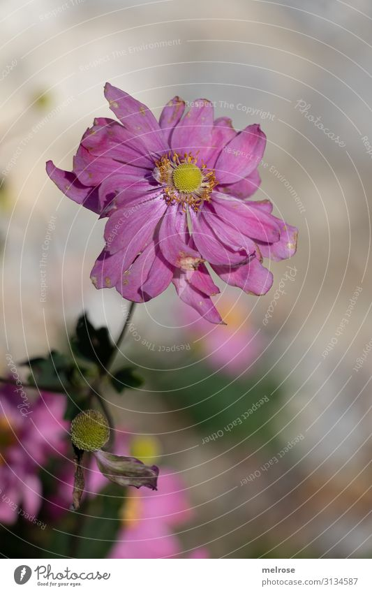 rosa Blume elegant Stil Natur Sommer Schönes Wetter Pflanze Sträucher Blatt Blüte Wildpflanze Anemonen Knollengewächse Blütenpflanzen Park Perspektive verrückt