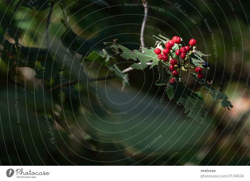 rote Beeren im Rampenlicht elegant Stil Natur Sonnenlicht Herbst Schönes Wetter Pflanze Sträucher Blatt Blüte Wildpflanze Feld rot-grün Farbtupfer