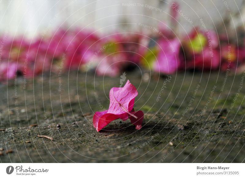 Bougainvillea Garten Natur Sommer Pflanze Blüte exotisch Blühend verblüht natürlich braun grau rosa schön Erholung Leichtigkeit Vergänglichkeit