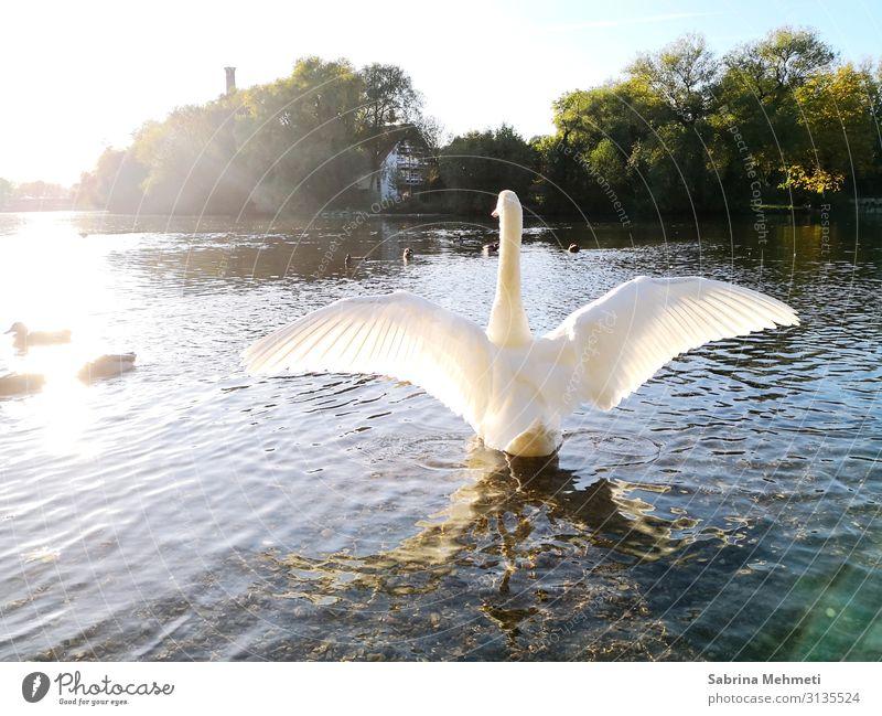 Schwan Ferien & Urlaub & Reisen Ausflug Ferne Freiheit Sommer Natur Wasser Sonne Sonnenlicht Schönes Wetter See Tier Erholung Blick leuchten authentisch frei