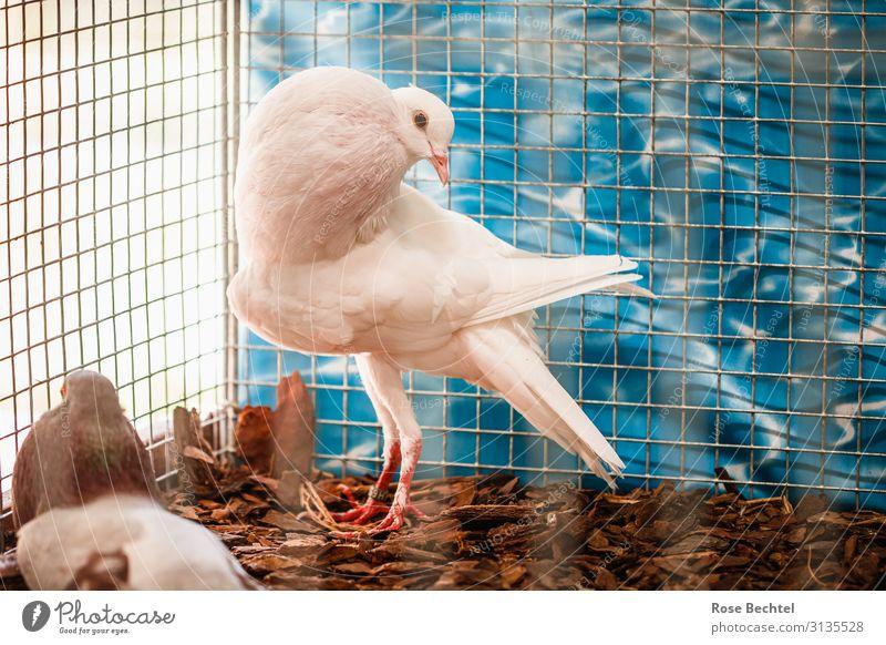 Hochzeitstaube im Käfig Tier Nutztier Vogel Taube 1 warten weiß Dekadenz Käfighaltung Brieftaube hochzeitstaube überzüchtet tierleid Farbfoto Innenaufnahme