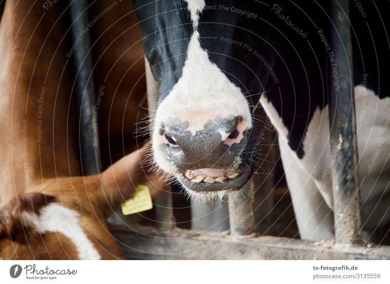 Gesicht im Gesicht Landwirtschaft Forstwirtschaft Stall Bauernhof Tier Nutztier Kuh Schnauze Wiederkäuer 2 Metall Essen füttern braun schwarz bedrohlich