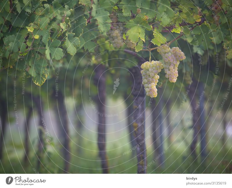 Im Wingert Landwirtschaft Forstwirtschaft Winzer Sommer Herbst Nutzpflanze Wein Weinblatt Weinberg Duft ästhetisch authentisch frisch positiv gelb grau grün