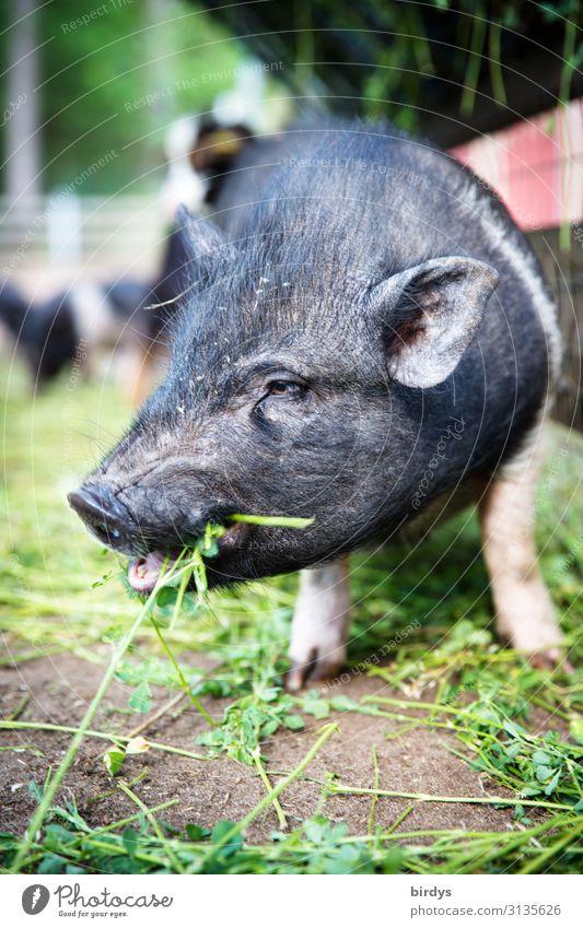 Kleines Schwein im Freiland frisst Klee. Tierportrait eines Ferkels. schwache Tiefenschärfe Landwirtschaft artgerecht Biologische Landwirtschaft Schönes Wetter