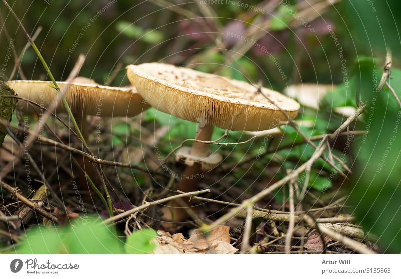Knollenblätterpilz Pilz Natur Pflanze Essen Wachstum wandern entdecken bedrohlich Gesundheit Farbfoto Außenaufnahme Nahaufnahme Detailaufnahme Makroaufnahme