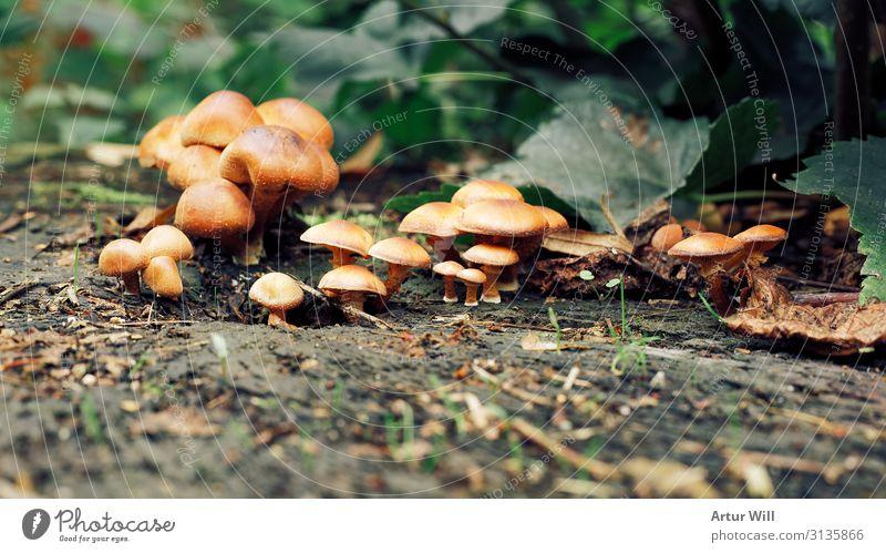 Pilzkolonie auf Baumstumpf Umwelt Natur Landschaft Pflanze Erde Herbst Blatt Garten Park Wiese Wald Holz wählen Essen wandern braun grün Vorfreude Begeisterung