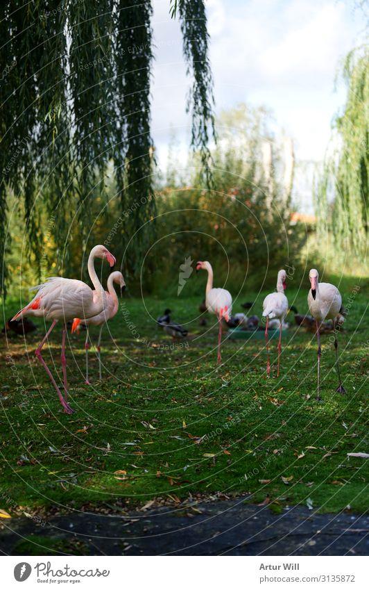 Flamingos Natur Landschaft Herbst Park Tier Wildtier Zoo Streichelzoo Tiergruppe Herde ästhetisch schön rosa Fröhlichkeit Begeisterung Farbfoto Außenaufnahme