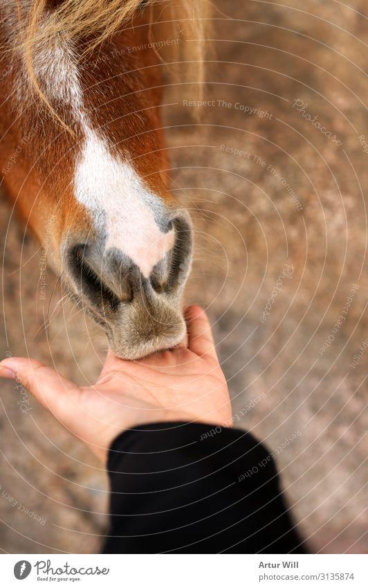 Füttern Natur Tier Nutztier Pferd Zoo Streichelzoo 1 Essen Fressen füttern genießen schön braun Freude Vertrauen Sympathie Tierliebe Farbfoto Außenaufnahme Tag