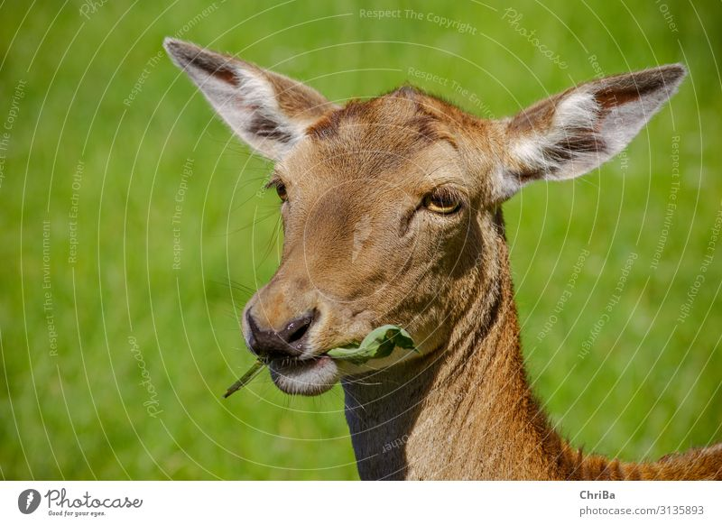 Es schmeckt Jagd Sommer Tier Wildtier Tiergesicht Fell Damwild Hirschkuh Rehauge 1 Fressen füttern braun grün Farbfoto Außenaufnahme Textfreiraum links Tag