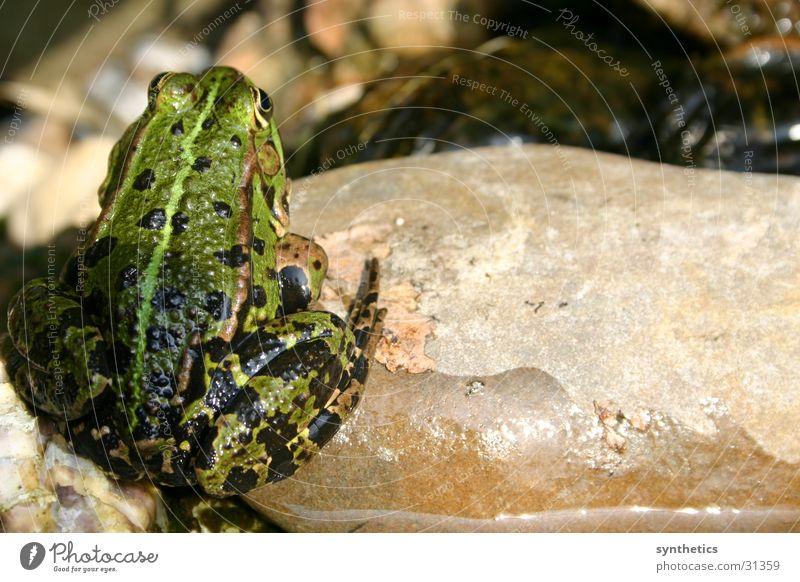 BLICKWINKEL Stein sitzen Frosch Quaken