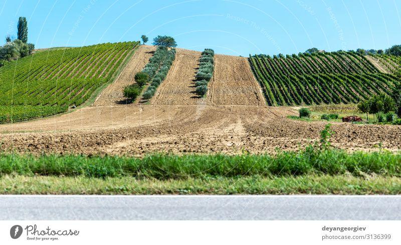 Olivenbäume in Reihen und Weinbergen in Italien. Oliven- und Weinfarm. Ferien & Urlaub & Reisen Tourismus Sommer Garten Natur Landschaft Pflanze Himmel Baum