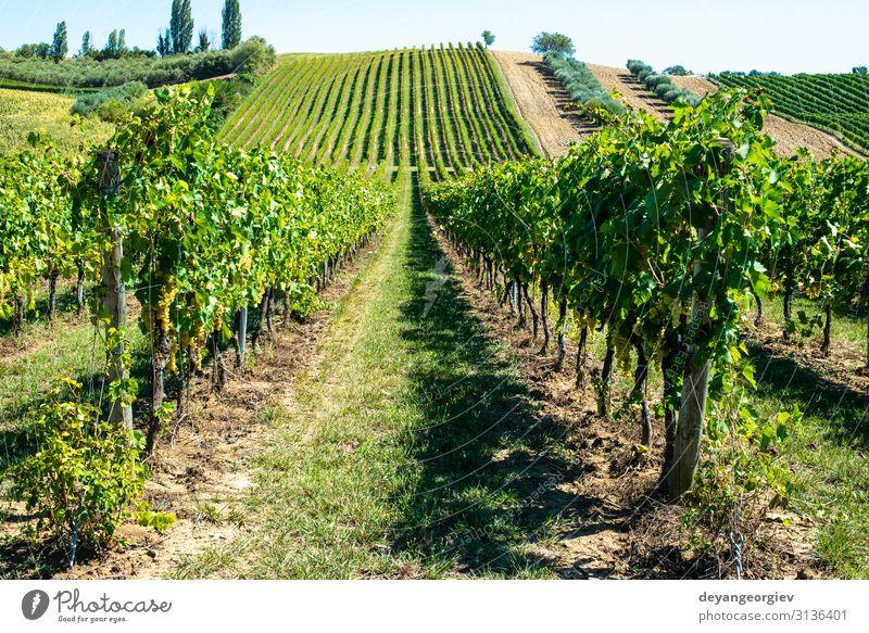 Weingüter mit weißen Trauben in Italien. Italienisches Weingut. Sommer Natur Landschaft Pflanze Blatt natürlich grün Perspektive Weinberg Weintrauben Toskana