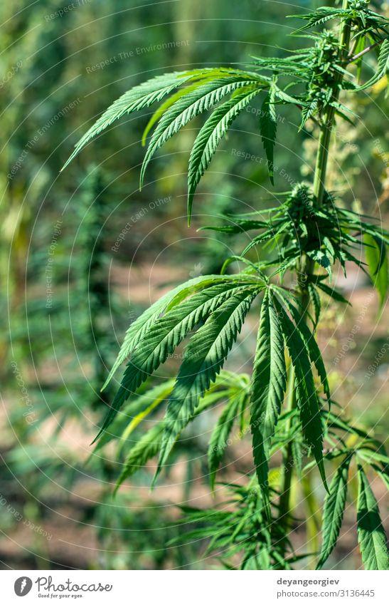 Marihuana-Farm. Anbau von Cannabis sativa in der Farm. Kräuter & Gewürze Topf Medikament Garten Kultur Natur Pflanze Blatt Wachstum natürlich grün industriell