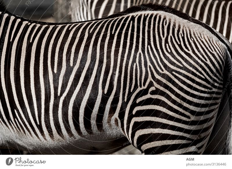 Streifen schwarz weiß elegant Natur Tier Wildtier Pferd Fell 2 stehen ästhetisch exotisch nah schön Zebra Afrika Hinterteil Muster muskulös hypnotisch