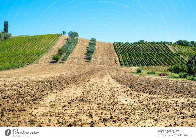 Olivenbäume in Reihen und Weinbergen in Italien. Oliven und Wein Ferien & Urlaub & Reisen Tourismus Sommer Garten Natur Landschaft Pflanze Himmel Baum Hügel
