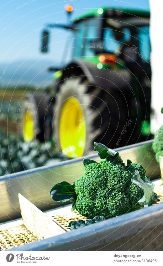 Ernten Sie Brokkoli im Bauernhof mit Traktor und Förderband. Gemüse Industrie Business Technik & Technologie Landschaft Pflanze Verpackung Linie grün