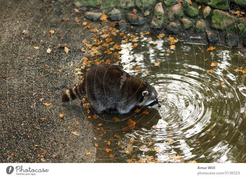Durstiger Waschbär Tier Wildtier Fell Pfote Zoo Streichelzoo 1 trinken Tierliebe Farbfoto Außenaufnahme Menschenleer Tag Zentralperspektive Tierporträt