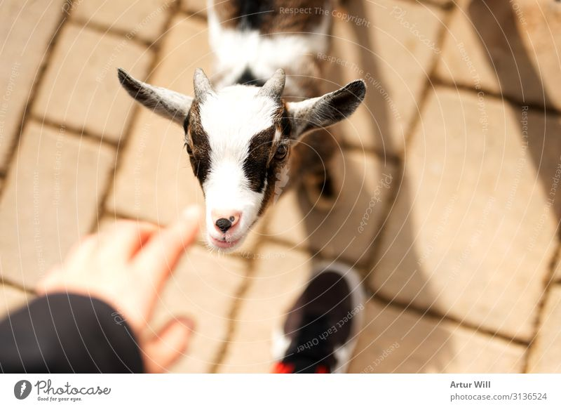 Zicklein Tier Nutztier Tiergesicht Zoo Streichelzoo 1 Tierjunges berühren füttern braun weiß Freude Begeisterung Vertrauen Streicheln Farbfoto Außenaufnahme