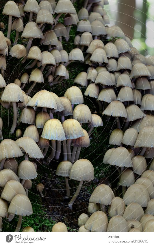 Pilze im Wald Baum hell klein braun Herbst Natur grün viele ungenießbar beige Pilzhut Detailaufnahme Schwache Tiefenschärfe Gift xenias