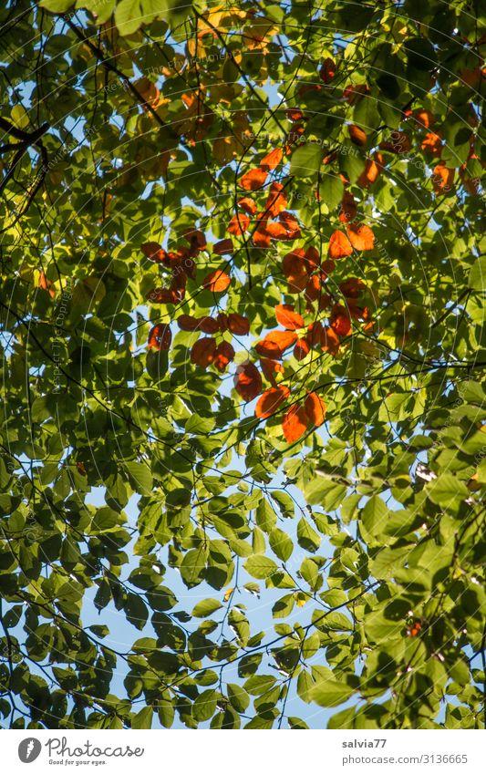 Blätterdach Umwelt Natur Pflanze Himmel Herbst Klima Schönes Wetter Baum Blatt Buche Park Wald Wachstum Schutz Vergänglichkeit Wandel & Veränderung