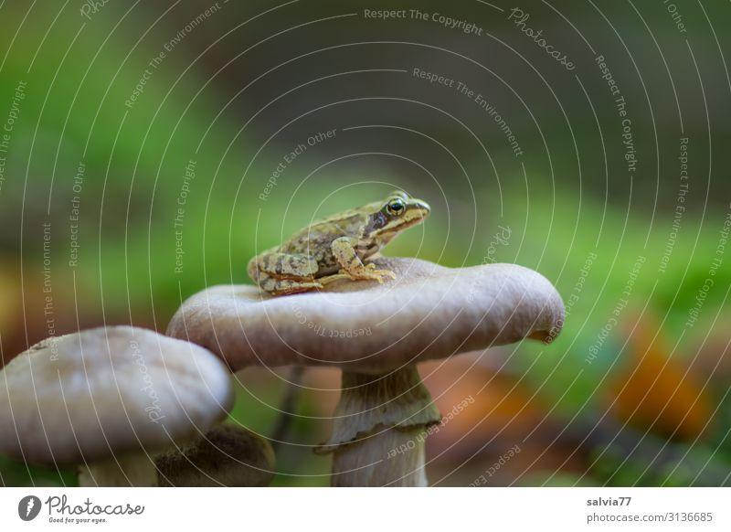kleiner Frosch sitzt auf Pilzhut Wald Grasfrosch Amphibie Pflanze Tier 1 Makroaufnahme warten Überblick geduldig Schwache Tiefenschärfe ruhig Textfreiraum oben