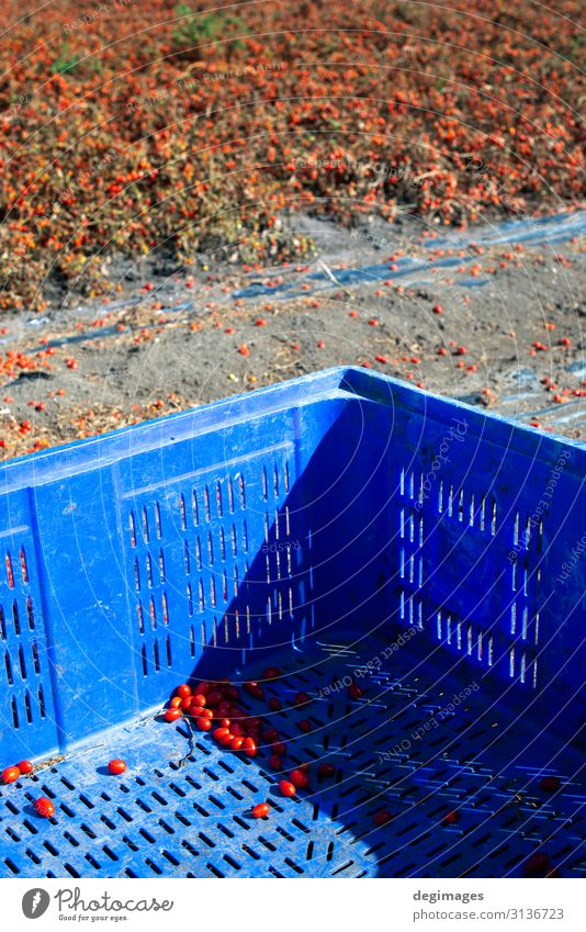 Tomaten, die zur Aufbewahrung bestimmt sind. Ernten Sie Tomaten. Gemüse Vegetarische Ernährung Sommer Garten Gartenarbeit Industrie Natur Pflanze Wachstum
