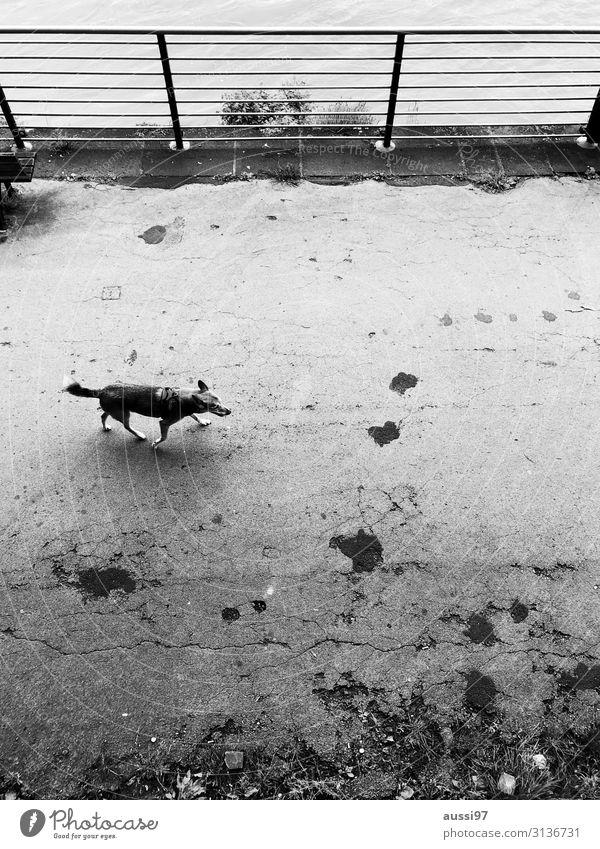Snooping as usual Hund Spaziergang Spazierweg Schwarzweißfoto Geländer Promenade Einsamkeit Vogelperspektive Herumtreiben