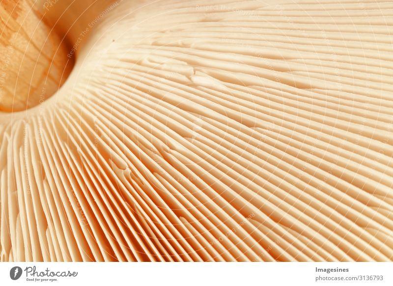 """Lamellen Pilz Ernährung Diät Natur Pflanze Pilzhut Lebewesen gestreift gelb gold Design Umwelt Wachstum """"Nahaufnahme,Macrolepiota Procera Makro"""