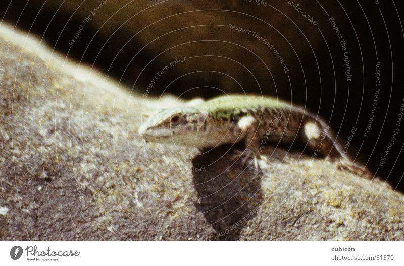 gecko Stein bewegungslos Reptil Echsen