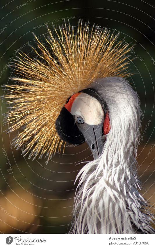Nahaufnahme eines Kronenkrans Vogel Kranich Krähe Tier Natur grau Hühnervögel Schnabel Kopf schwarz Feder Kamm Porträt schön wild rot Zoo Farbe mehrfarbig