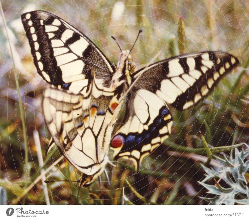 Auch sie tun's! Schmetterling
