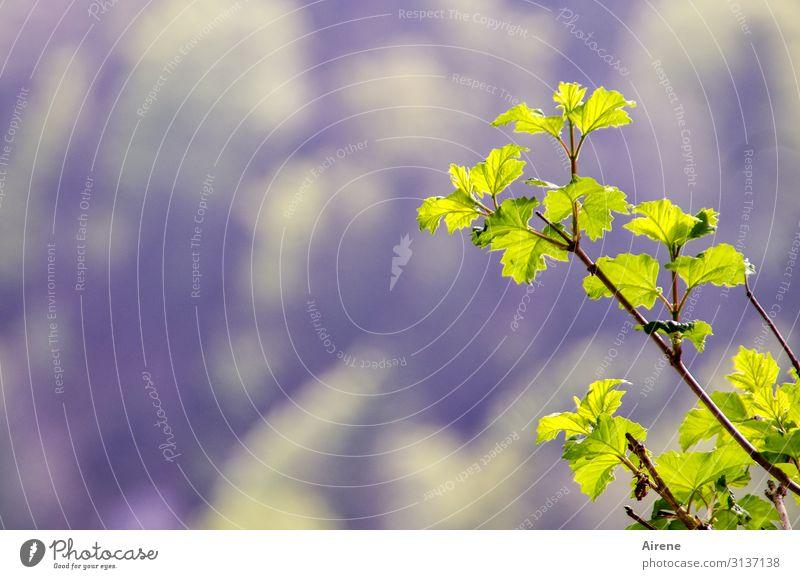 ein bisschen Grün Natur Frühling Schönes Wetter Pflanze Sträucher Blatt Zweig Wachstum einfach frisch hell klein natürlich gelb violett Frühlingsgefühle Beginn