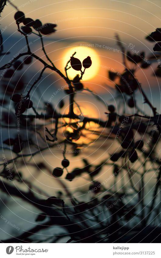 hage & butte Umwelt Natur Landschaft Pflanze Tier Herbst Schönes Wetter Wildpflanze Seeufer stachelig Hagebutten Sträucher Sonne Sonnenuntergang Sonnenlicht