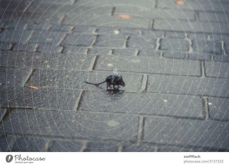 Regenmaus Umwelt Wasser Herbst schlechtes Wetter Stadtzentrum Menschenleer Straße Bürgersteig Tier Wildtier Maus Fell Krallen Pfote 1 Tierjunges frieren rennen