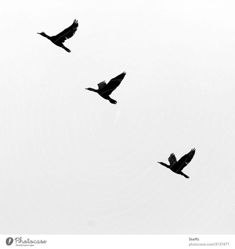 Gänse fliegen Umwelt Natur Himmel Herbst Wildtier Vogel Flügel Gans Wildgans Wildvogel Zugvogel 3 Tier natürlich schön grau schwarz weiß achtsam Fernweh